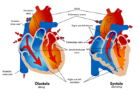 3 – Improved Cardiovascular Health – Health Benefits Running Daily